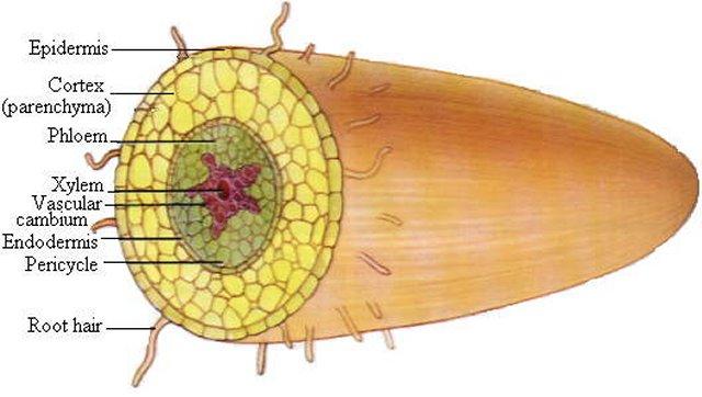 Structure of stem diagram basic guide wiring diagram week 1 rh bellevillebiology com corm stem structure diagram plant stem diagram ccuart Choice Image