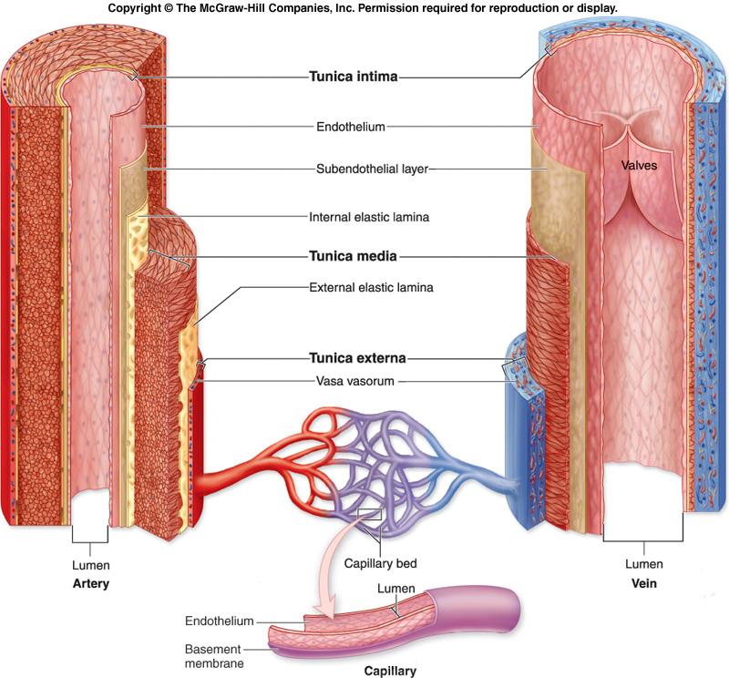 Anatomy, Physiology, and Pathophysiology