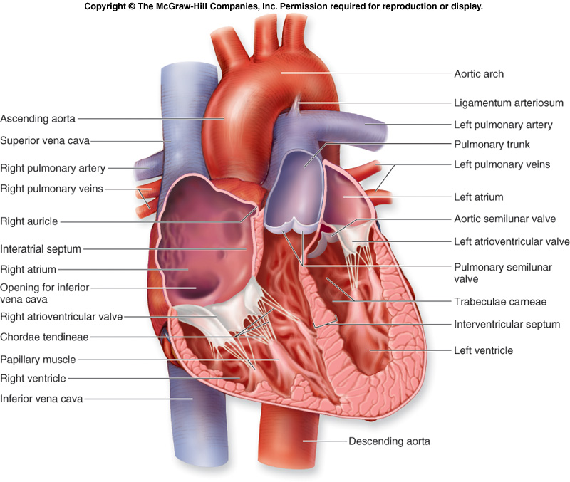 Heart Diagram - Internal  Labeled Heart Diagram With Functions