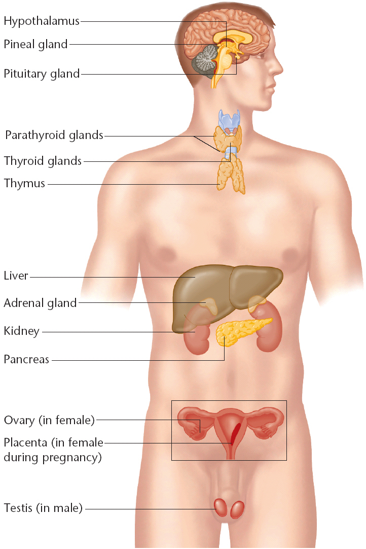 Endocrine System Diagram Labeled