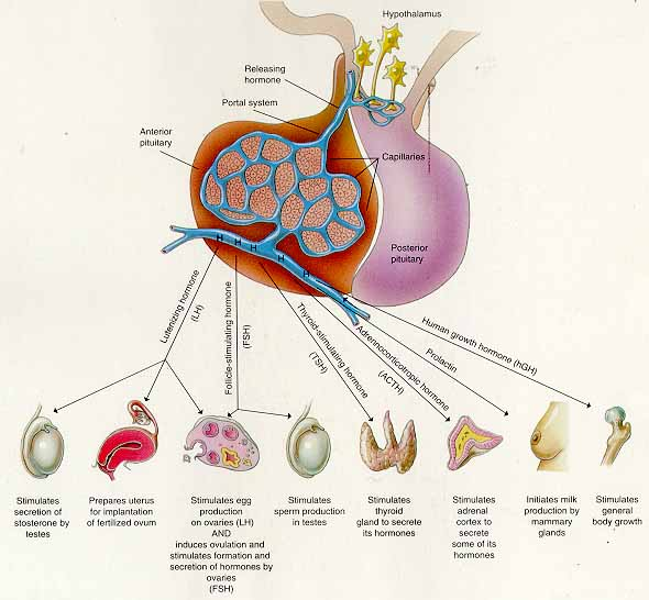 Anatomy physiology and pathophysiology endocrine system test pituitary gland diagram ccuart Gallery