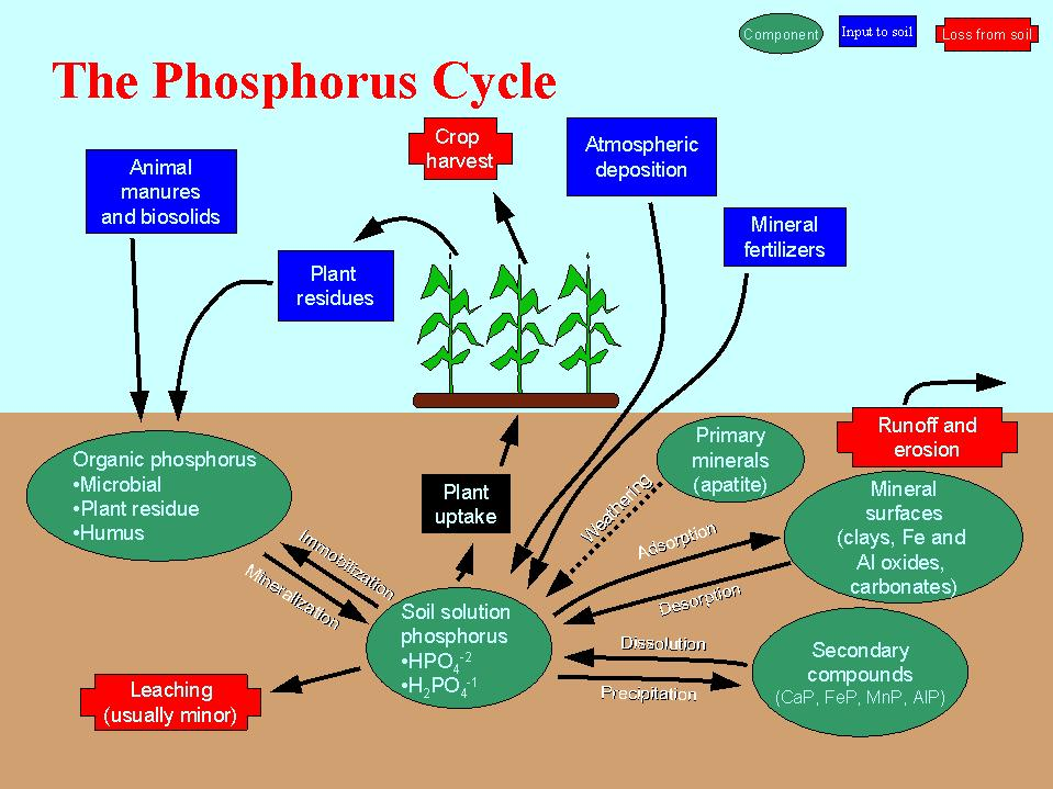 Phosphorus Cycle Diagram. Phosphorus Cycle Diagram